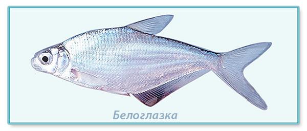 фото рыбы белоглазки