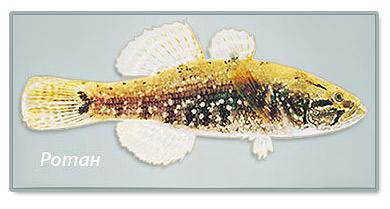 фото рыбки - Ротана