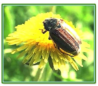 фото майского жука