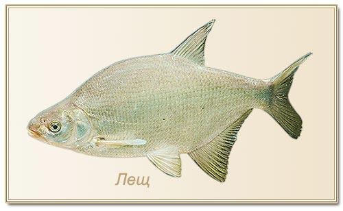 фото рыбы леща