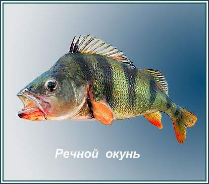 rehnoy_okun