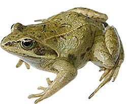 изображение озерной лягушки