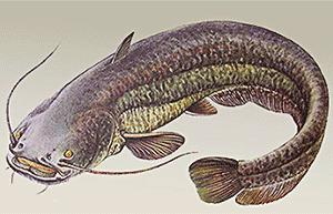 изображение рыбы сом